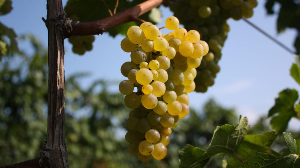 Vino bianco brotto